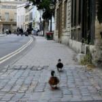 Francia: assumono le anatre per rallentare il traffico