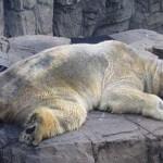 L'orso polare Arturo rischia di morire: gli animalisti vogliono che sia spostato