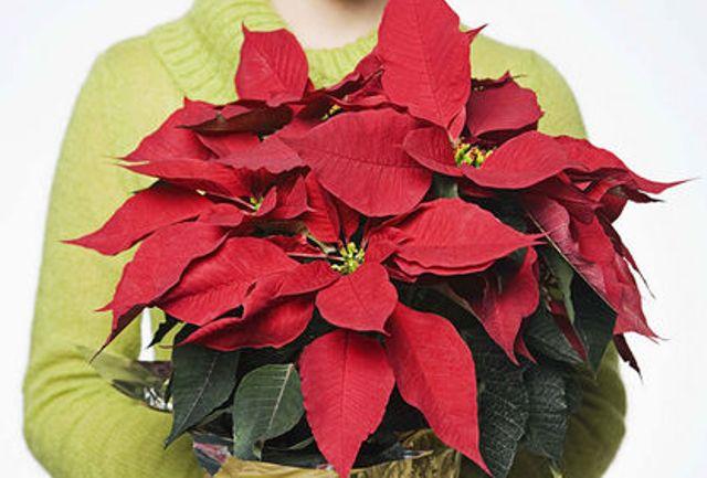 Come Mantenere Stella Di Natale.Come Conservare La Stella Di Natale Tutto L Anno Ultime Notizie Flash