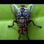 mosche pericolose per la salute dell'uomo