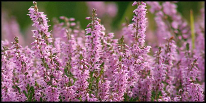 heather, fiore di bach, aiuto per dimagrire