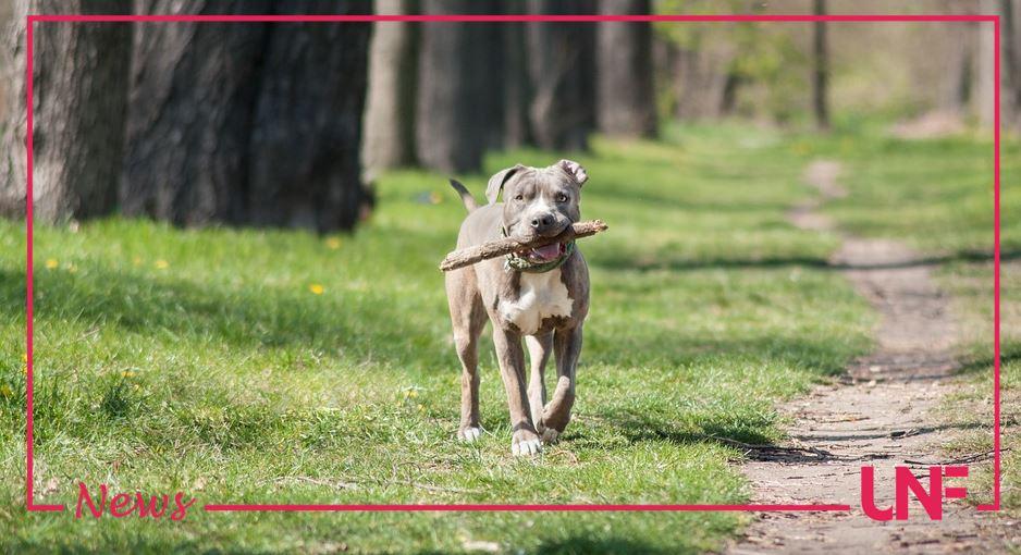 Entra per errore nel cortile dei vicini: muore sbranata da due cani Amstaff